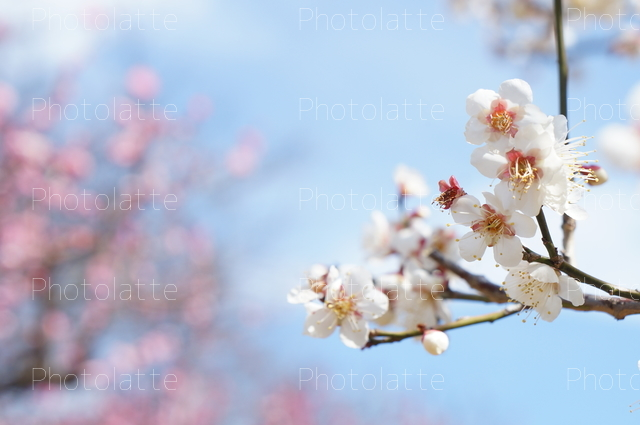 ふんわり梅の花