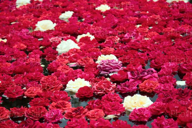一面のバラ